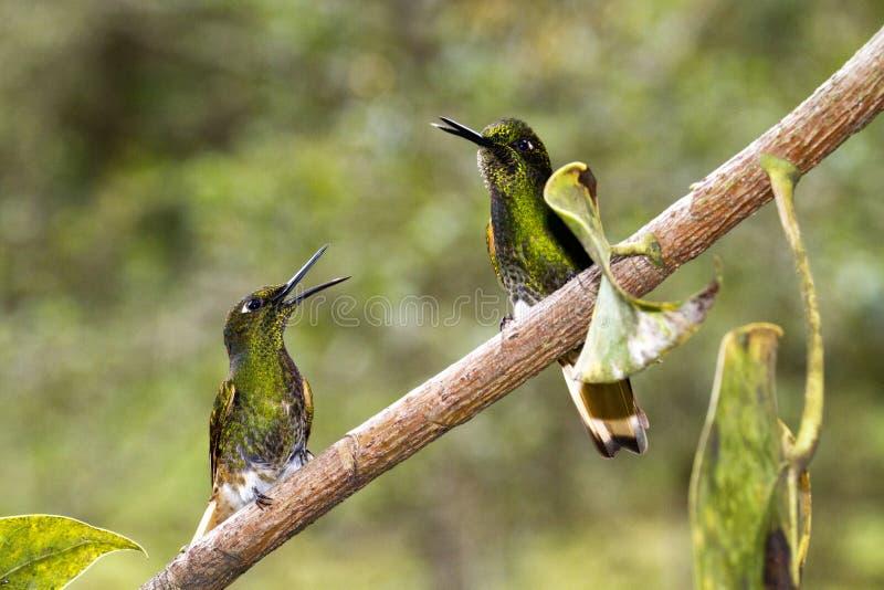 Kolibri arkivfoton