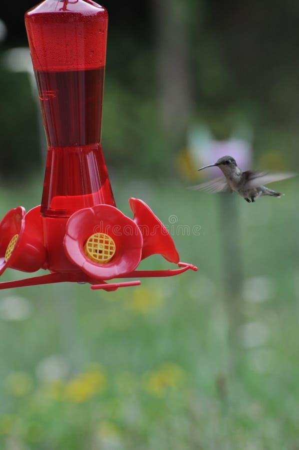 Kolibri royaltyfri bild