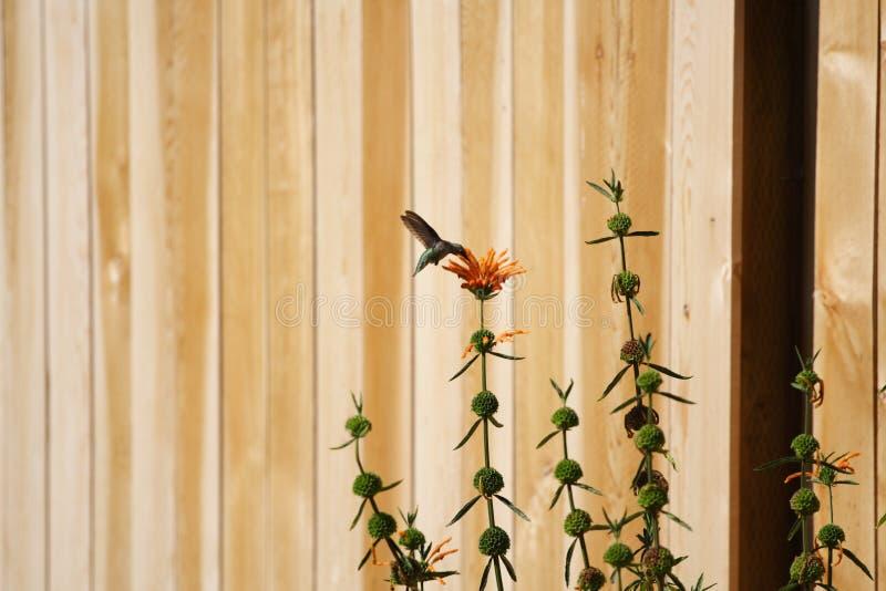 Kolibri auf einer Blume lizenzfreies stockbild