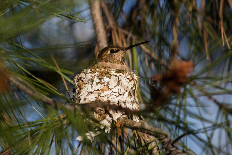 Kolibri auf Nest lizenzfreies stockbild