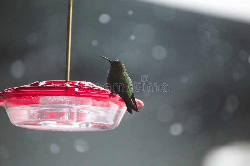 Kolibri auf Plastikvogelzufuhr mit roter Spitze lizenzfreies stockfoto