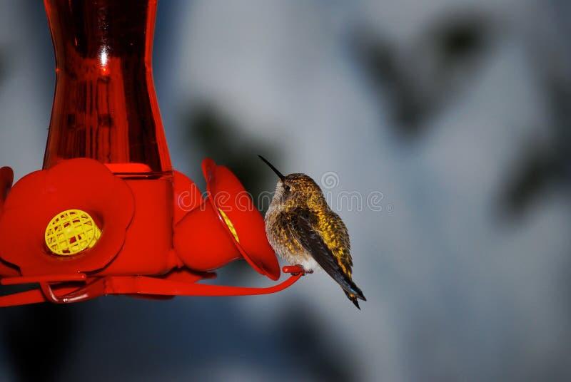 Kolibri auf roter Zufuhr lizenzfreie stockfotos
