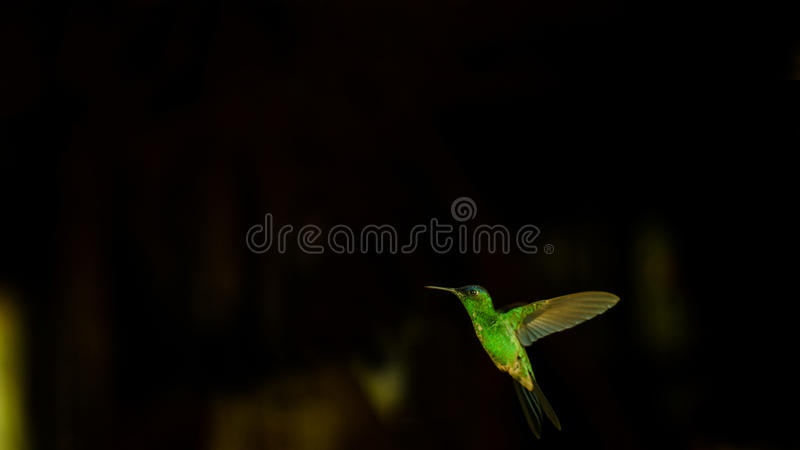 Kolibri/Beija-Flor stockfotografie