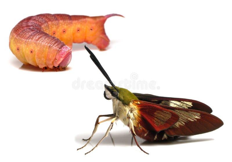 Kolibri Clearwing - Hodges 7853 & x28; Hemaris thysbe& x29; Vuxen mal och Caterpillar som isoleras på en vit bakgrund royaltyfri bild