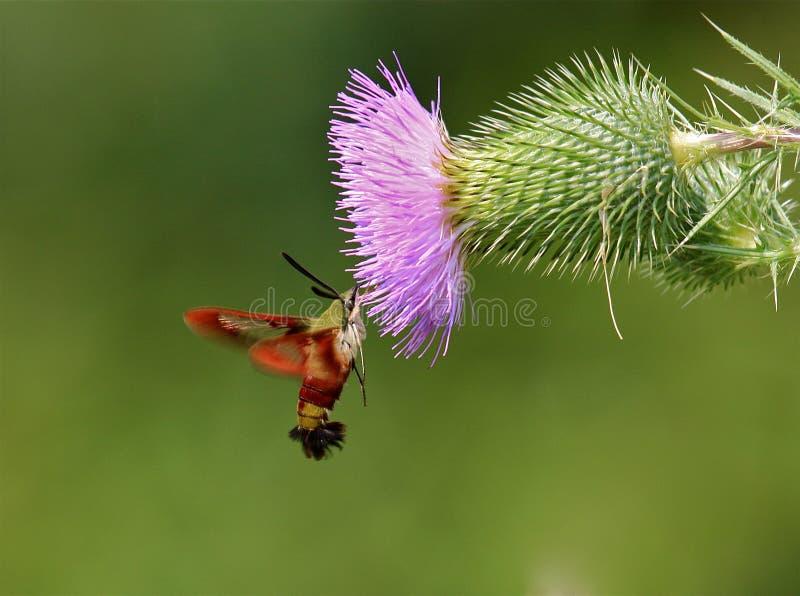 Kolibri Clearwing Motte