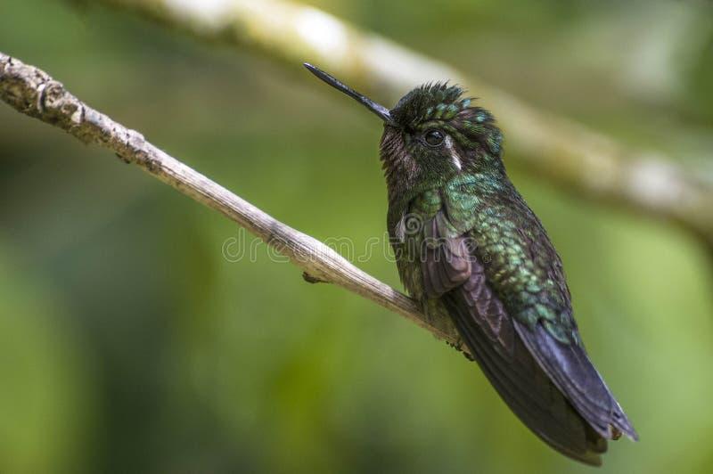 kolibri Curi Cancha, Costa Rica stockfotografie