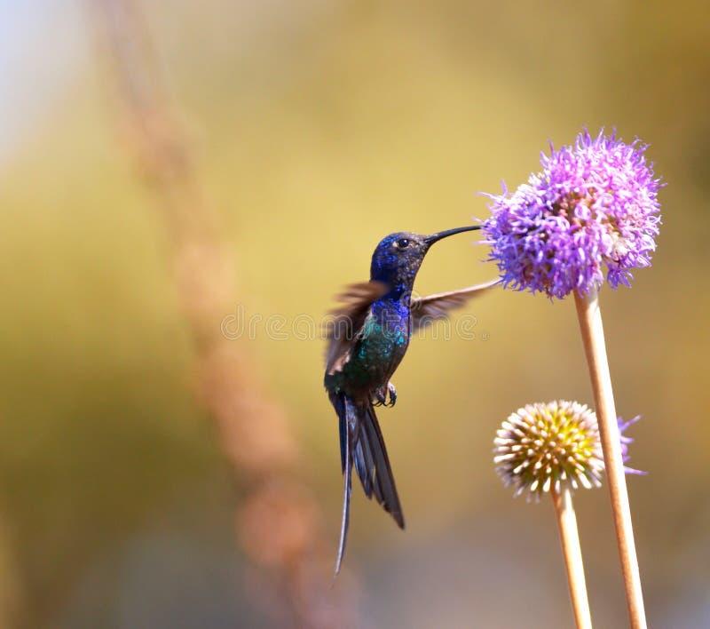 Kolibri, der auf der Blume speist lizenzfreies stockbild
