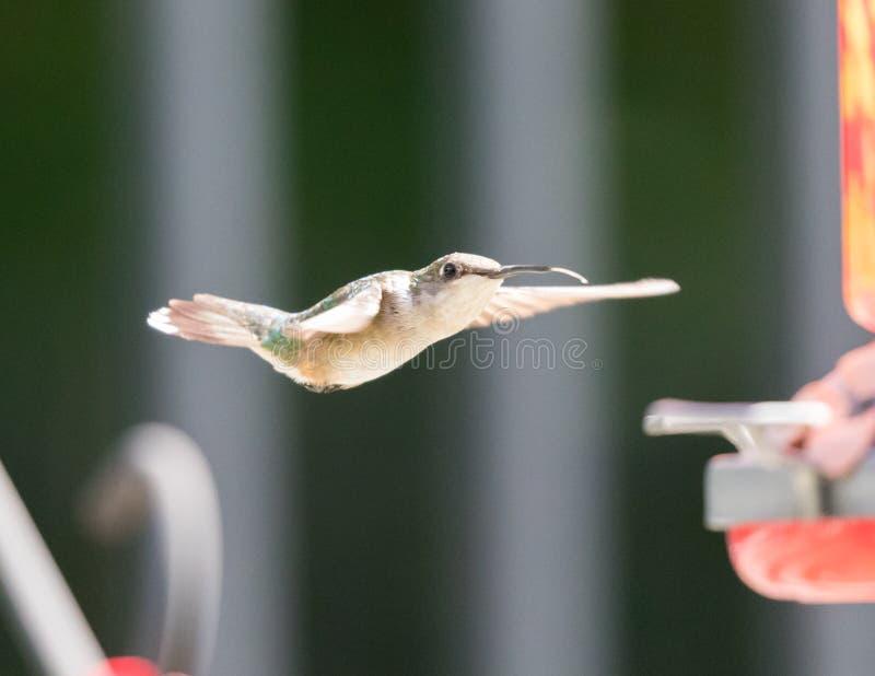 Kolibri, der etwas Nahrung erhält lizenzfreies stockfoto