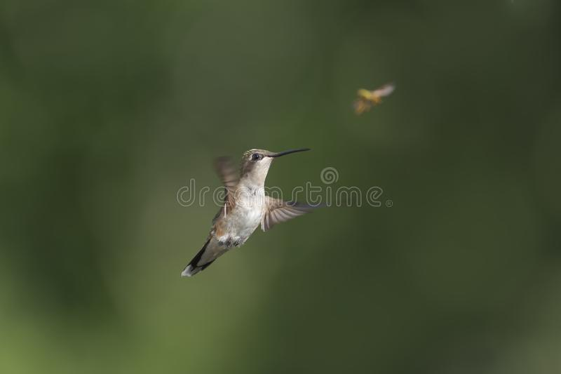 Kolibri, der für eine Wespe nachgibt stockbilder