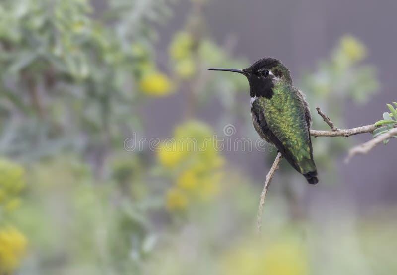 Kolibri för Anna ` s arkivbild