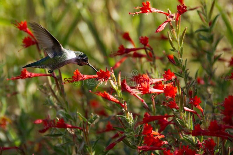 Kolibri för Anna ` som s matar i ett fält av röda Kalifornien Fuschia arkivfoton