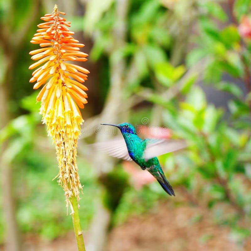 Kolibri för blå gräsplan som flyger över en tropisk apelsin f royaltyfria foton