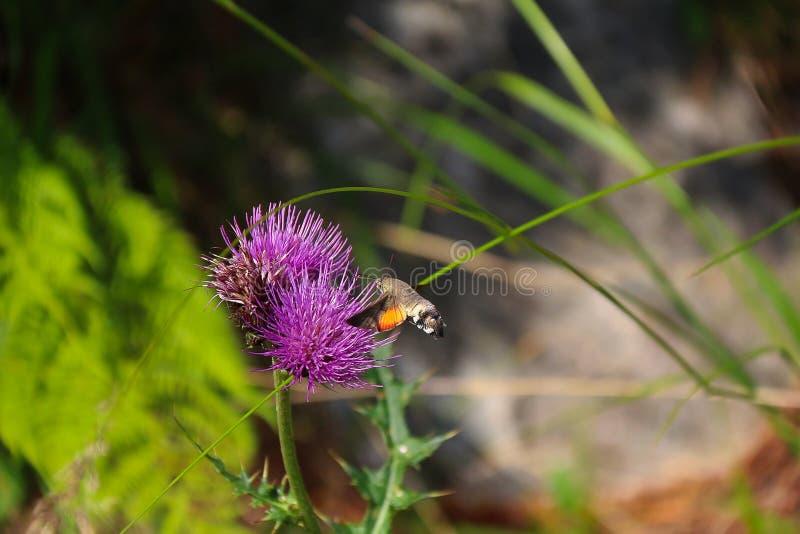 Kolibri-Falke-mothScientificname: Macroglossum-stellatarum lizenzfreies stockfoto