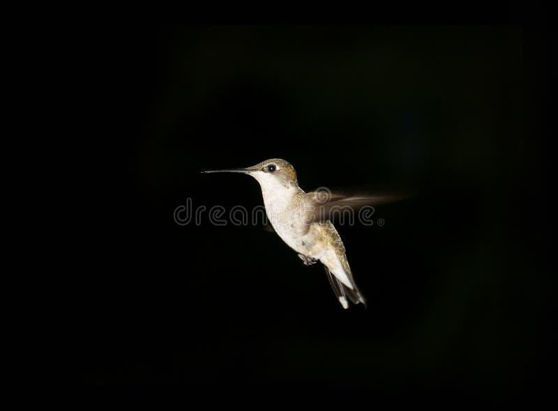 Kolibri gegen dunklen Hintergrund lizenzfreie stockbilder