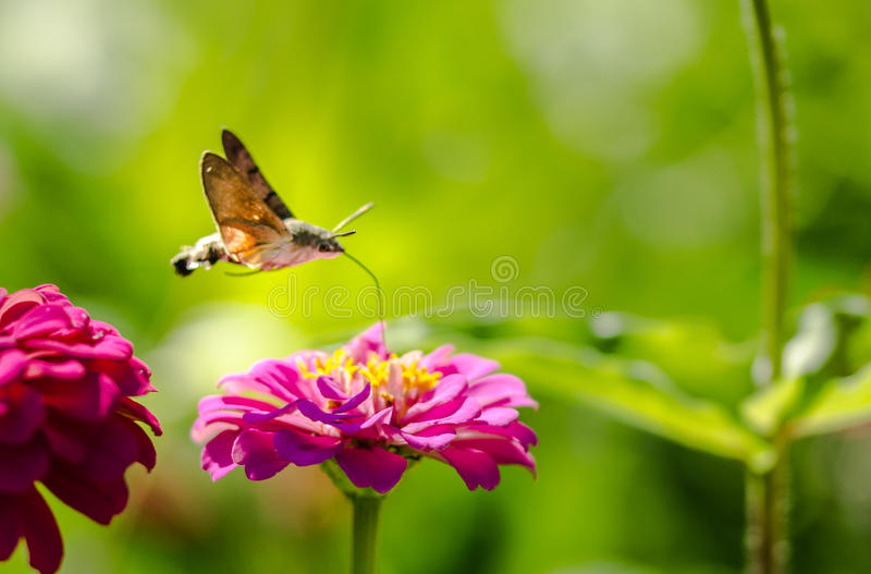 Kolibri Hawkmoth royaltyfri foto