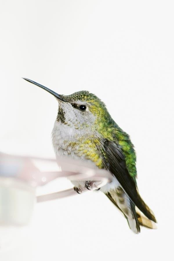 Kolibri hockte lizenzfreie stockfotografie
