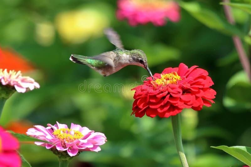 Kolibri i blommaträdgård arkivfoto