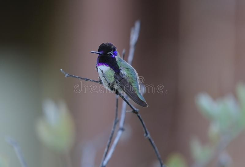 Kolibri i den Sonoran öknen royaltyfri fotografi