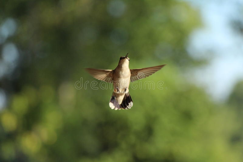 Kolibri i flykten royaltyfri foto