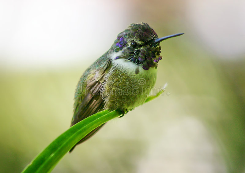 Kolibri im Ruhezustand stockbilder