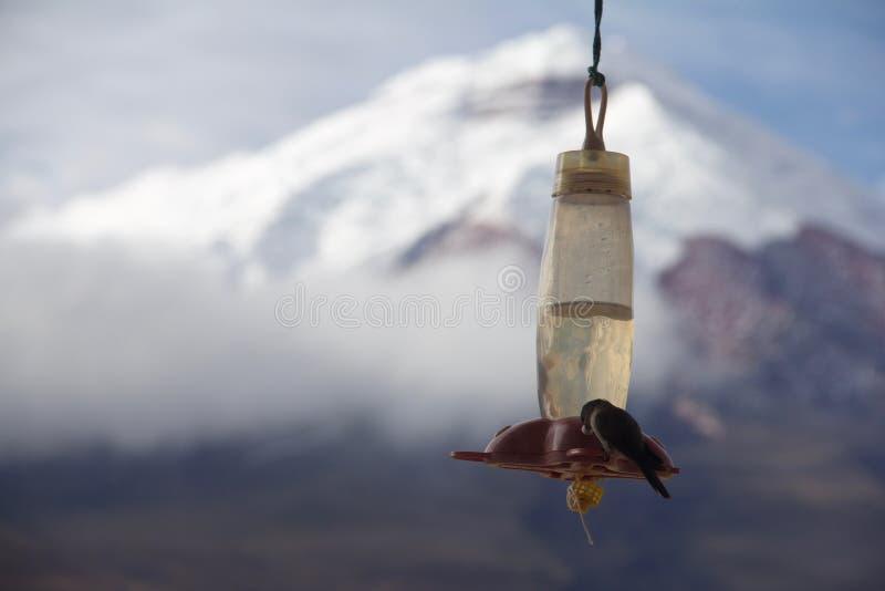 Kolibri med den Cotopaxi vulkan i bakgrunden arkivfoton