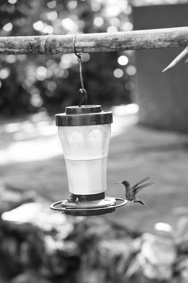 Kolibri nära supare eller förlagematare royaltyfri bild