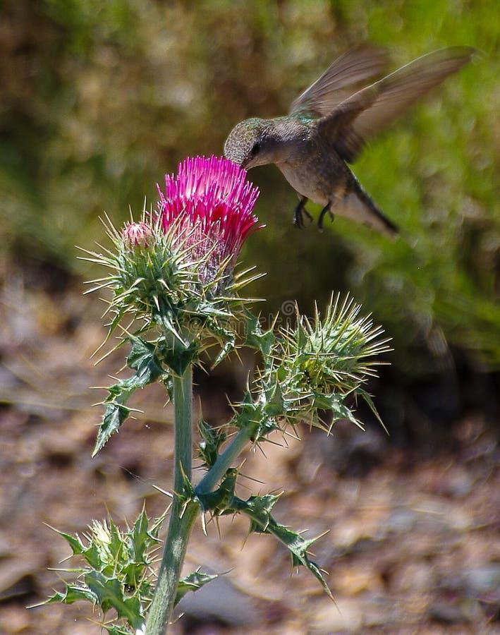 Kolibri och röd blomningtistel i nordliga Arizona fotografering för bildbyråer