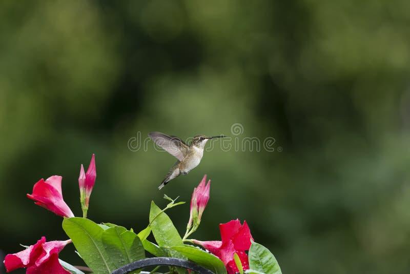 Kolibri och Rocktrumpet med rum för kopia royaltyfria bilder