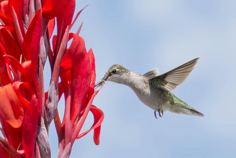 Kolibri på en röd blomma fotografering för bildbyråer