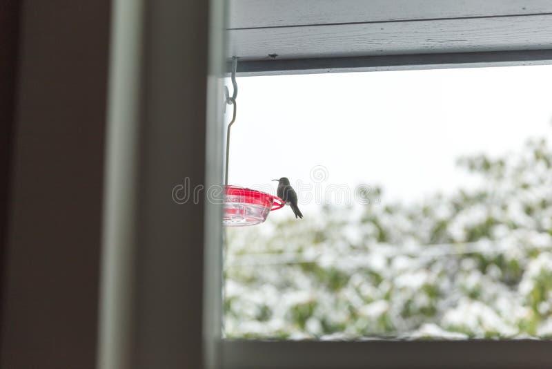 Kolibri på förlagematare i vinter fotografering för bildbyråer