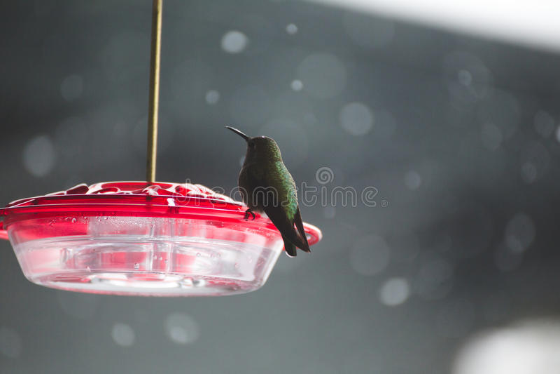 Kolibri på plast- fågelförlagematare med den röda överkanten royaltyfri foto