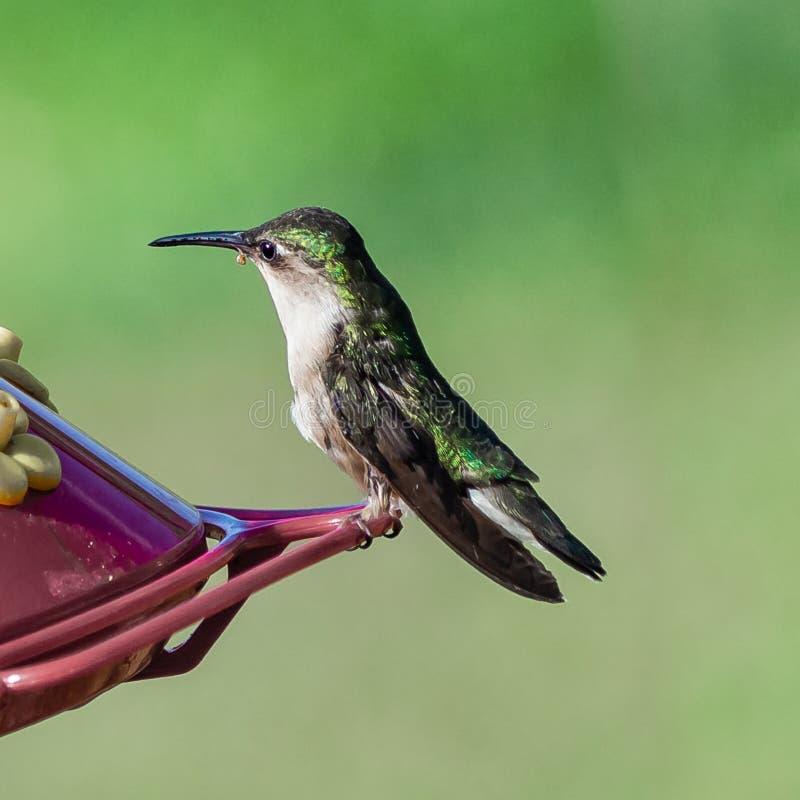 Kolibri som fortfarande sitter royaltyfri fotografi