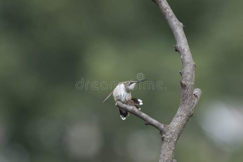 Kolibri som har en morgonelasticitet royaltyfri fotografi