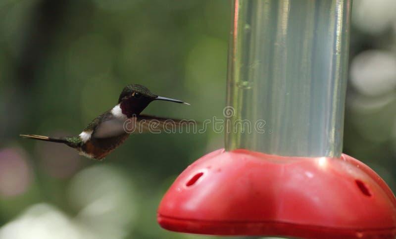 Kolibri som svävar i Monteverde den biologiska reserven, Costa Rica royaltyfri foto