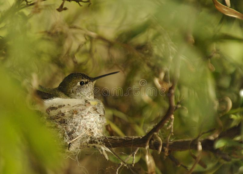 Kolibri som tyst sitter på mycket litet rede arkivbilder
