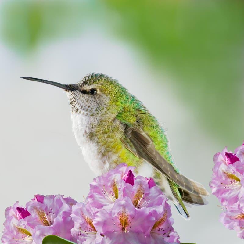 Kolibri und Blumen lizenzfreies stockfoto