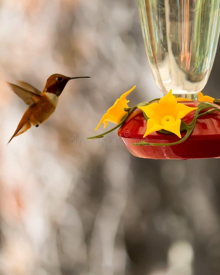 Kolibri ungefähr, zum an einer Kolibrizufuhr einzuziehen stockfoto