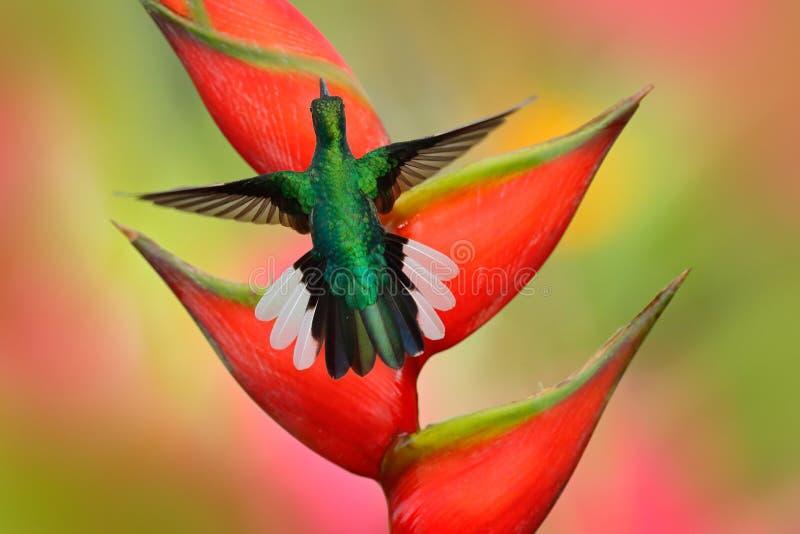 Kolibri Weiß-band Sabrewing-Fliegen nahe bei schöner Strelitziarotblume an stockfotos