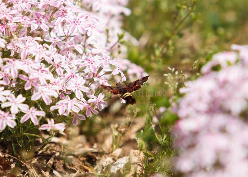KolibriClearwing mal som svävar på blommor arkivfoto