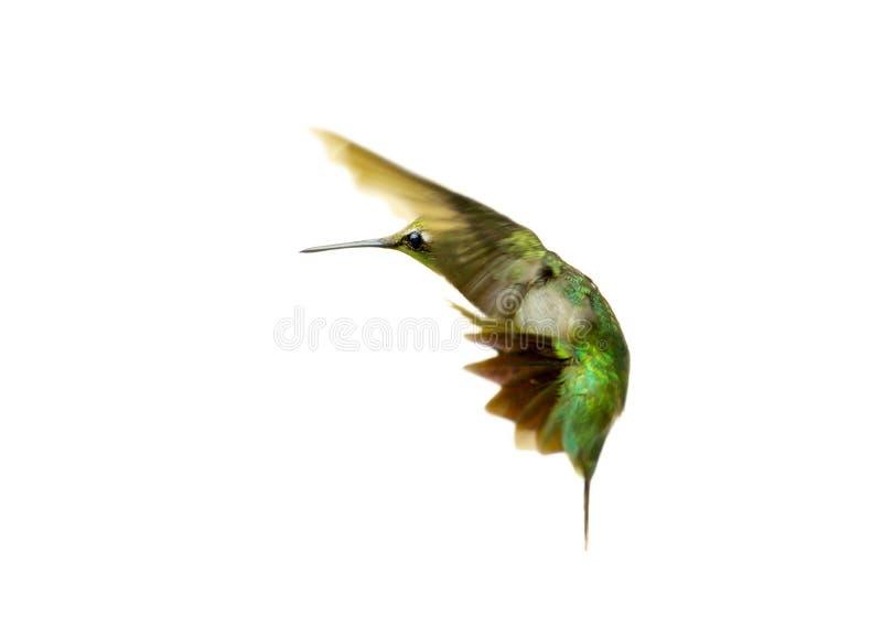 Kolibrie. royalty-vrije stock foto's