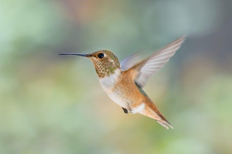 Kolibrie in Angst stock foto
