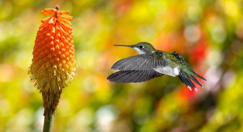 Kolibrie (archilochuscolubris) tijdens de vlucht met tropische flowe stock fotografie