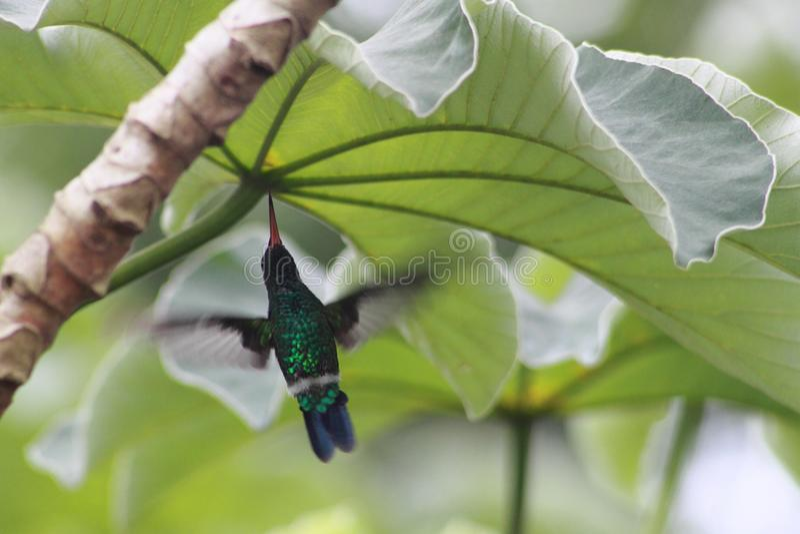 Kolibrie in beweging het vliegen royalty-vrije stock fotografie
