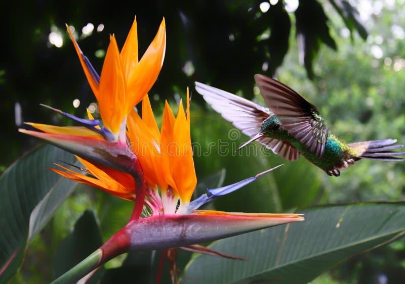 Kolibrie bij bloem royalty-vrije stock afbeeldingen