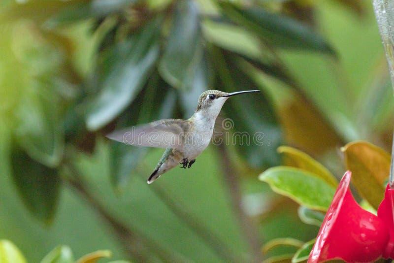 Kolibrie bij een voeder in Noord-Carolina royalty-vrije stock foto