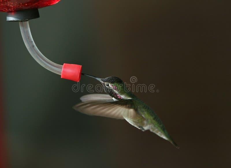 Kolibrie bij voeder - 2 royalty-vrije stock afbeelding