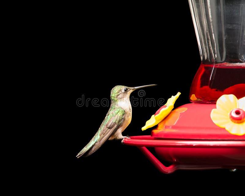 Kolibrie bij Voeder op Zwarte wordt geïsoleerd die royalty-vrije stock afbeelding