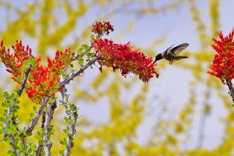 Kolibrie & Bloem stock afbeeldingen