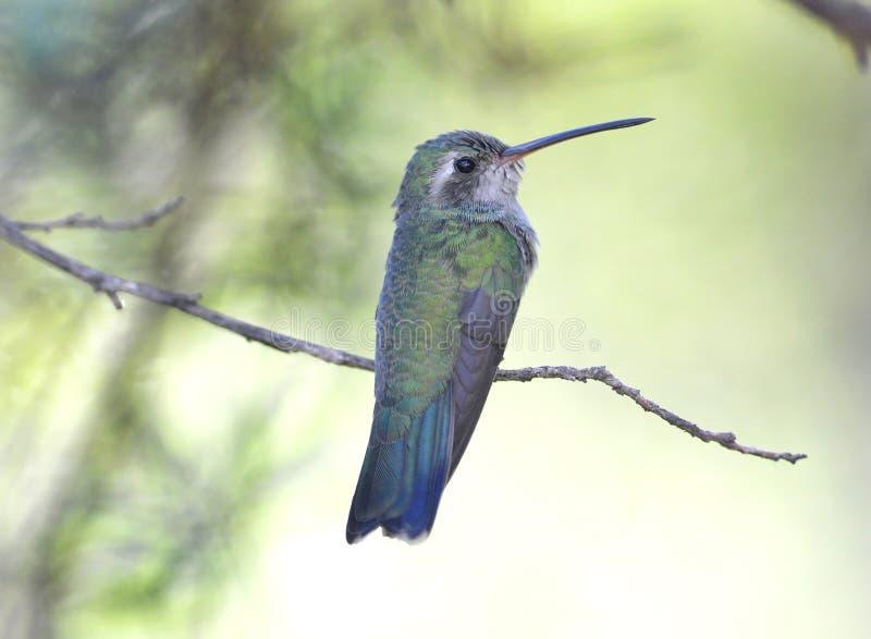 Kolibrie, breed gefactureerd mannetje, Arizona, isa royalty-vrije stock fotografie