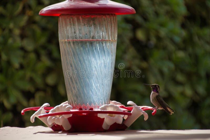 Kolibrie die op Voeder rusten royalty-vrije stock foto's